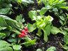 první jarní bio-vitamíny z vlastní sklizně