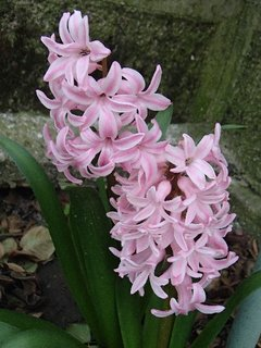 FOTKA - ružové hyacinty