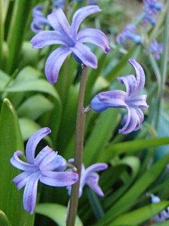 FOTKA - drobný hyacint