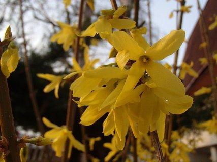 FOTKA - zlat� d�� kvitne