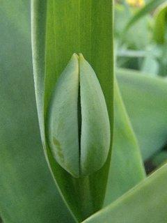 FOTKA - čoskoro budú kvitnúť aj tulipány