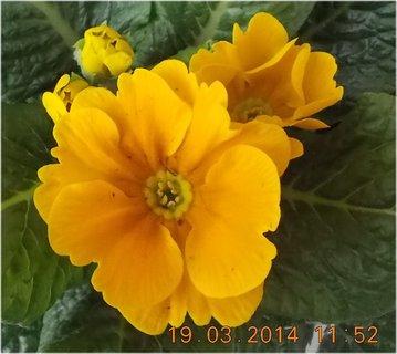 FOTKA - Jaro je v plném proudu-3-sytě žlutá prvosenka