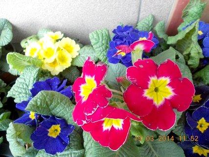 FOTKA - Jaro je v plném proudu-4-různé barvy prvosenek