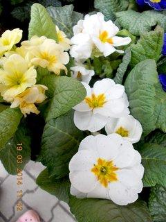 FOTKA - Jaro je v plném proudu-6 - bílá a žlutá prvosenka