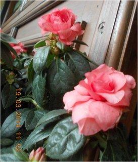 FOTKA - Jaro je v plném proudu-8 - dvě růžové růžičky