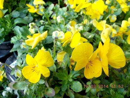 FOTKA - Jaro je v plném proudu-9- žluté drobnověté macešky