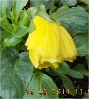 FOTKA - nerozvitá žlutá maceška - jarní kvítí
