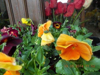 FOTKA - oranžovo - žlutá maceška - jarní kvítí-2