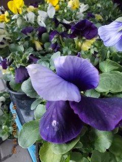 FOTKA - modro fialová maceška - jarní kvítí-4