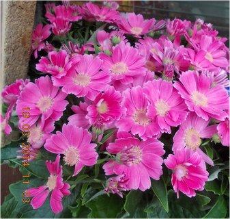 FOTKA - krásně růžové jarní kvítí-6