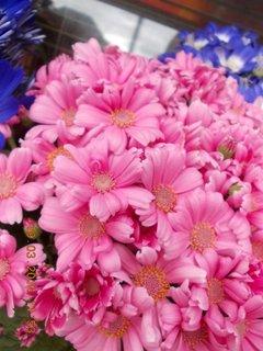 FOTKA - růžové jarní kvítí-8