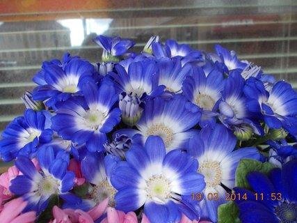 FOTKA - modré s bílým středem jarní kvítí-9