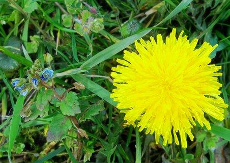 FOTKA - kvete na trávníku
