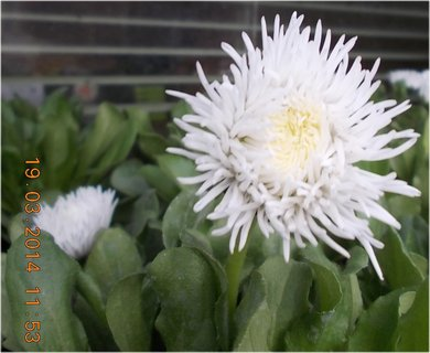 FOTKA - bílá sedmikráska