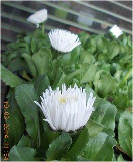 FOTKA - bílé sedmikrásky z profilu, jsou kouzelné