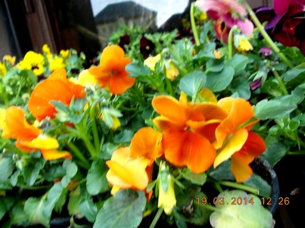 FOTKA - oranžové a žluté drobnokvěté macešky
