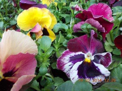 FOTKA - colorit barevných macešek, krásných