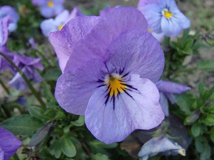 FOTKA - fialová kráska