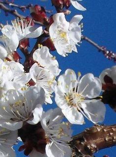 FOTKA - Kvetou meruňky