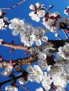 FOTKA - Kvetou meruňky.