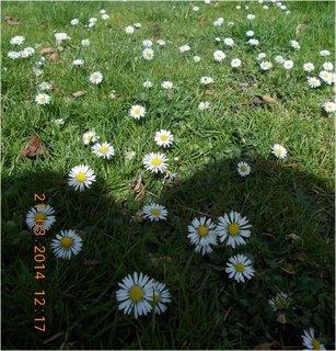 FOTKA - sedmikrásky jsem fotila v leže na břiše