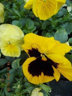 FOTKA - fialovo žlutá maceška