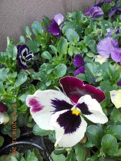 FOTKA - pět barev na květu macešky