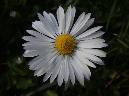 FOTKA - hlavička sedmokrásky
