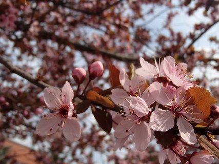 FOTKA - ružová jar