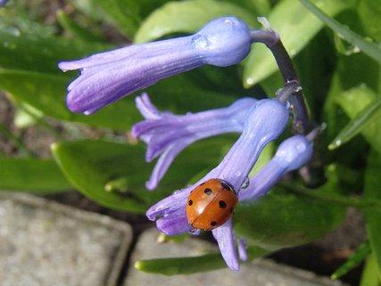FOTKA - na zmoknutom skalkovom hyacinte