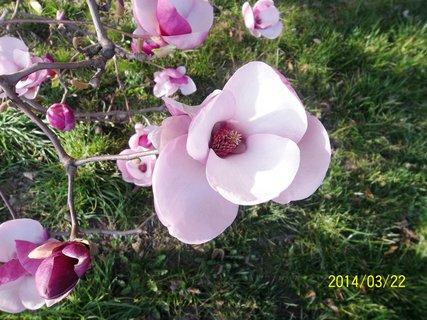FOTKA - Magnolie dnes rozkvetla