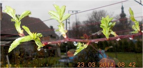 FOTKA - nové listy na růži jsou samá kapička