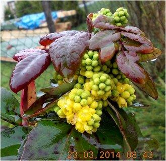 FOTKA - kvetoucí Mahon