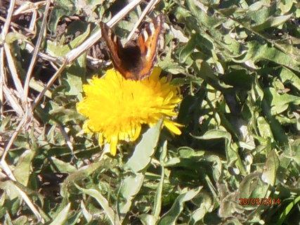 FOTKA - Motýl už také čeká na jaro 20.3. 2014