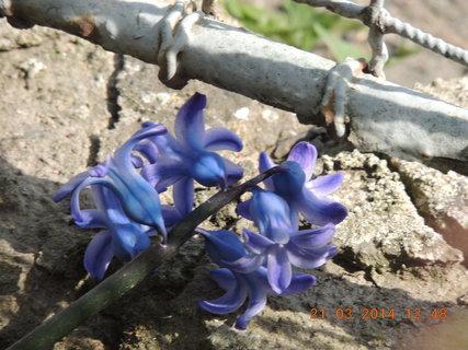 FOTKA - Modrý hyacint 21.3. 2014