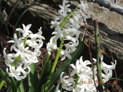 FOTKA - B�l� hyacint 21.3. 2014
