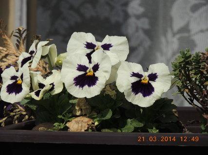FOTKA - Maceška na okně  21.3.2014