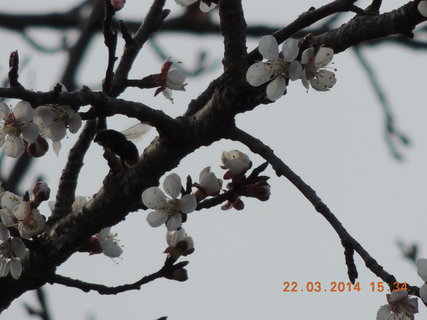 FOTKA - Stomy kvetou 22.3. 2014