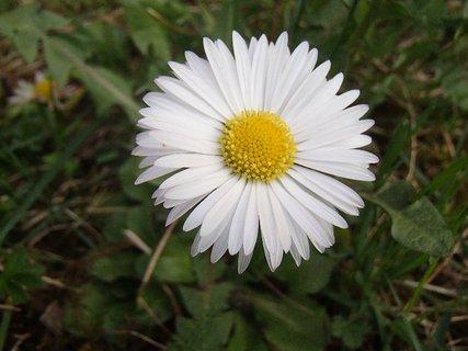 FOTKA - sedmokráska v tráve
