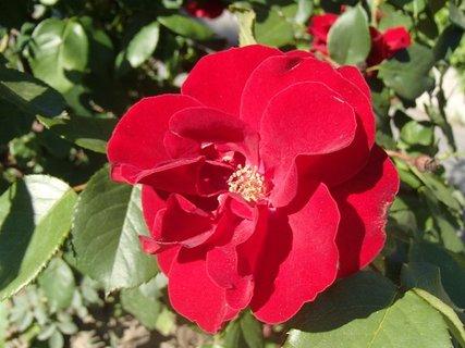 FOTKA - červená ružička pre dnešný deň