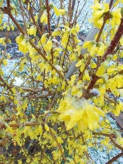 FOTKA - promáčené květy Zlatice od sněhu
