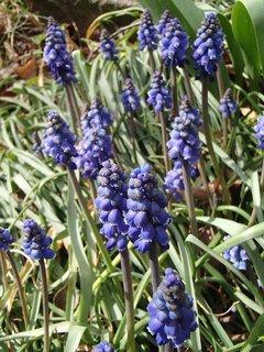 FOTKA - modrice kvitnú