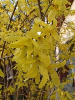 FOTKA - zlatý dážď v plnom kvete