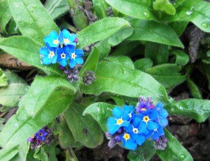 FOTKA - Kvetou pomněnky