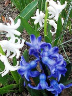 FOTKA - Hyacinty..