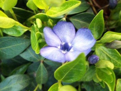 FOTKA - Barvínek kvete.