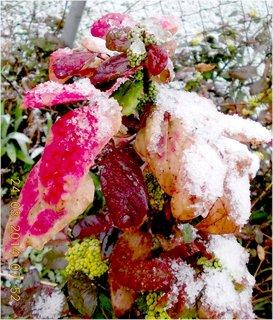 FOTKA - listy Mahonu se sněhem jarním