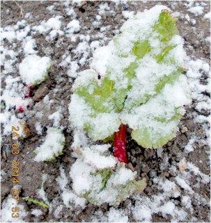 FOTKA - zasněžená Rebarbora