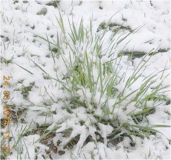 FOTKA - tráva pod sněhem, vypadá jako pažitka
