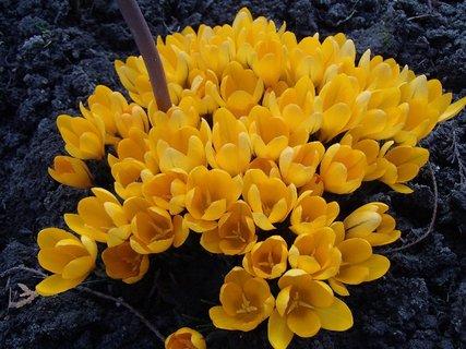 FOTKA - žlté krokusy